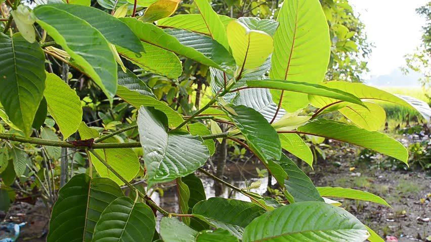 red vein sumatra kratom